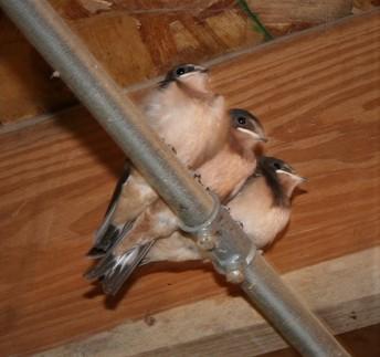 Newly Fledged Barn Swallows
