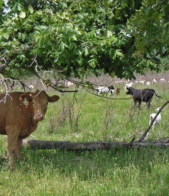 Mixed Grazing Fails to Reduce Parasitism