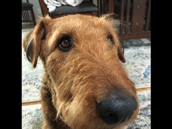 Airedales are known for their big noses