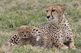What is a baby cheetah called?