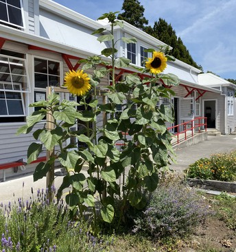 Sunflowers in front of Rm 13