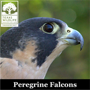 Animal Encounters: Peregrine Falcons