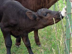 Clover Kid Bucket Calves