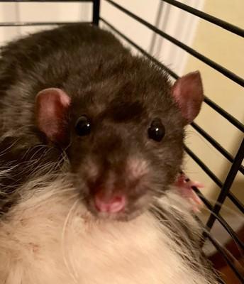Rattie #2