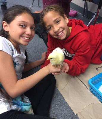 6th Grade Chickens
