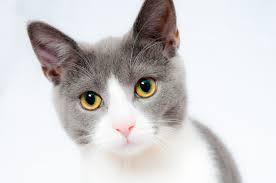 Cat (Gato)