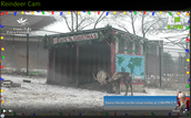 Animal Planet's LIVE Reindeer Cam
