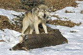 how wolves survive