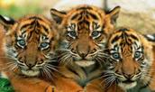 Tiger Growth