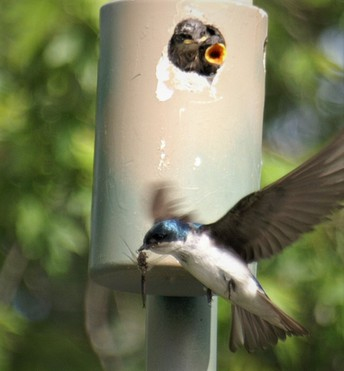 Tree Swallow bringing 'lunch' to its Brood