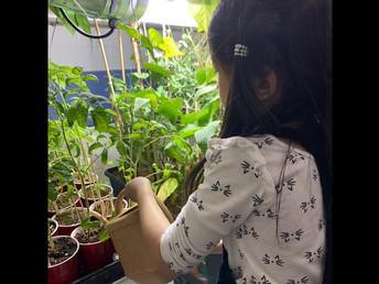 Watering the Tomato Plants in Kindergarten.