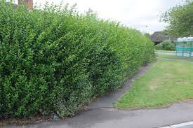 Overgrown Hedges & Shrubs