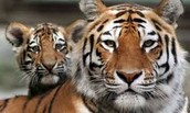 NEW! Tiger Sports Report