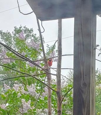 Cardinal in My Backyard by Adelaide Alexander