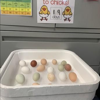 Chicks are here in Kindergarten