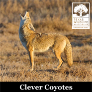Animal Encounters: Clever Coyotes