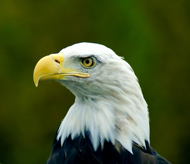 https://creativecommons.org/licenses/by/2.0/ - Bald Eagle