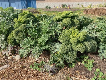 Healthy greens thriving in our school garden!