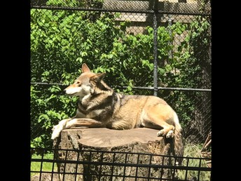 """Mr. G told the kids that he never gets to see the """"elusive"""" red wolf - THEY SAW HIM!"""