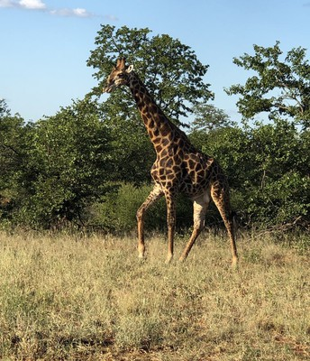 Wamogo students spot a giraffe in Kruger National Park.