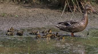 Mallard with 11 Ducklings