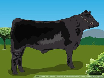 Livestock Classic Steer and Heifer Show