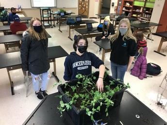 Pea Shoots being tended to by students.