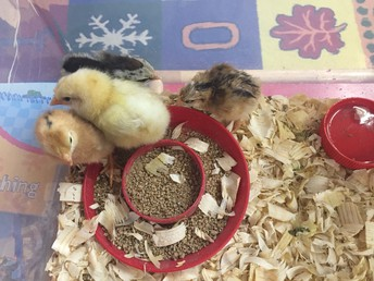 The Chicks Hatched in Preschool!