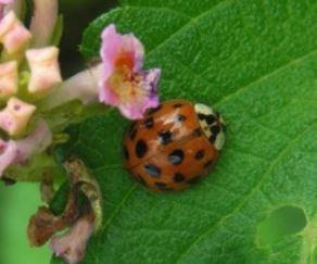 .............Ladybird Beetles