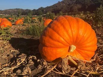 Bates Nut Farm Pumpkin Patch