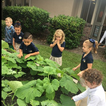 Our pumpkin plants are growing and growing!