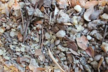 MASTIHA (Pistacea Lentiscus)