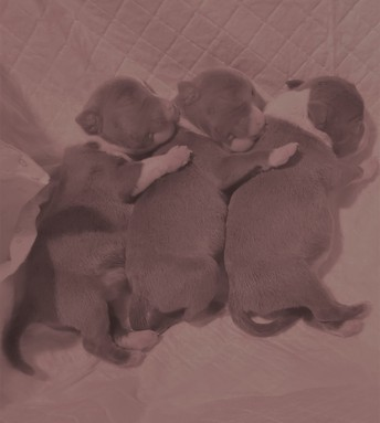 3 newborn puppies