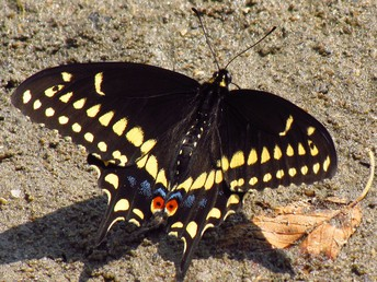 Pickles the Black Swallowtail