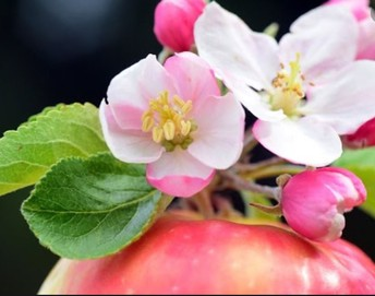 The apple blossom is the state flower of Michigan